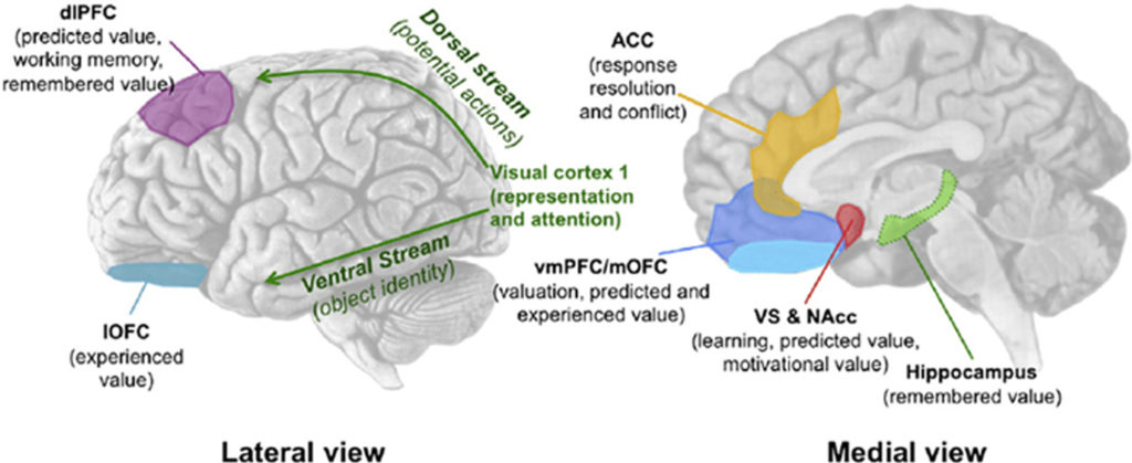 Overview of prominent brain areas involved in brand... | Download ...